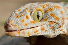 Gecko de la Thaïlande du nord photo libre de droits
