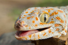 Gecko de la Thaïlande du nord image stock