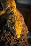 Gecko de Leachie photos stock
