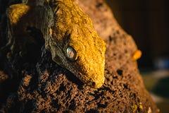 Gecko de Leachie photos libres de droits