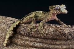 gecko de Li?ge-?corce/pietschmanni d'Uroplatus photo stock