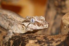 Gecko de Nova Caledônia Foto de Stock Royalty Free