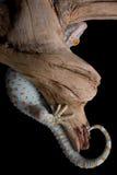 Gecko de ocultación Fotos de archivo