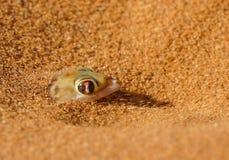 Gecko de Palmato près des dunes chez Vlei caché Sossosvlie, Namibie image libre de droits