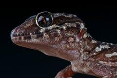 Gecko de panthère photo libre de droits