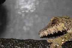 Gecko de queue de feuille de sikorae d'Uroplatus du Madagascar photos libres de droits