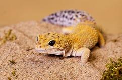 Gecko de rabo adiposo foto de archivo libre de regalías