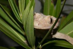 Gecko de têtes (ciliatus de Rhacodactylus) images stock