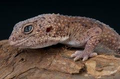 Gecko de Taylor fotografía de archivo libre de regalías
