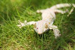 Gecko de Tokay fotos de archivo