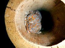 Gecko de Tokay photos libres de droits