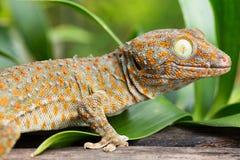 Gecko de Tokay photographie stock libre de droits