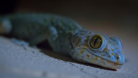 Gecko de Tokay Photo stock