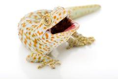 Gecko de Tokay Imagen de archivo
