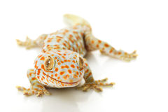Gecko de Tokay Fotografia de Stock Royalty Free