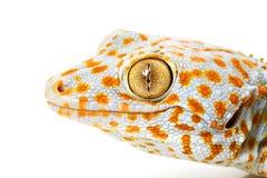 Gecko de Tokay Foto de archivo