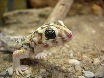 Gecko de Tokay Imagen de archivo libre de regalías