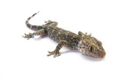 Gecko de Tokay photo stock