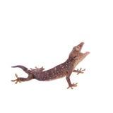 Gecko de Tokay d'isolement sur le fond blanc images stock