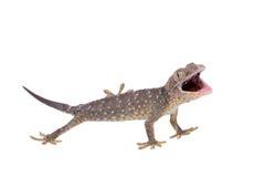 Gecko de Tokay d'isolement sur le fond blanc photo libre de droits