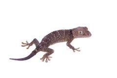 Gecko de Tokay d'isolement sur le fond blanc photographie stock libre de droits