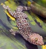 Gecko de Tokay (gecko de Gekko) Fotos de archivo libres de regalías