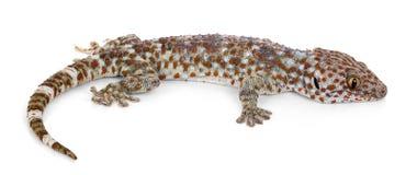 Gecko de Tokay, gecko de Gekko, sur le fond blanc photographie stock