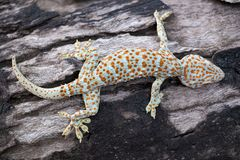 Gecko de Tokay photos stock