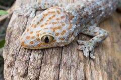 Gecko de Tokay sur le bois photo stock