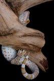 Gecko de Tokay sur le bois de flottage photographie stock