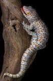 Gecko de Tokay sur le bois de flottage Photographie stock libre de droits