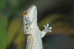 Gecko de velours du Madagascar image libre de droits
