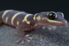 Gecko de velours/monilis d'Oedura photo libre de droits