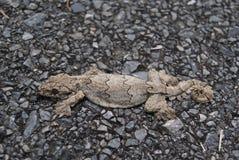 Gecko de vol photo libre de droits