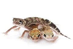 Gecko del descortezamiento (milii de Nephrurus) Imagen de archivo libre de regalías