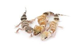 Gecko del descortezamiento (milii de Nephrurus) Imagen de archivo