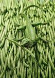 Gecko del fagiolino verde Fotografia Stock