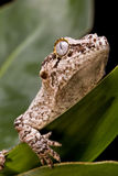 Gecko del Gargoyle Foto de archivo libre de regalías