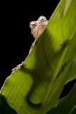 Gecko del Gargoyle Fotografía de archivo libre de regalías