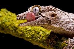 Gecko del Gargoyle Fotografia Stock