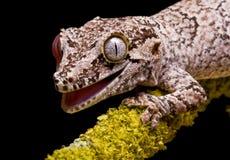 Gecko del Gargoyle Foto de archivo