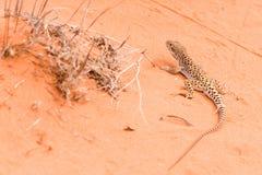 Gecko del lagarto que se ejecuta en la arena roja imagenes de archivo