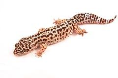 Gecko del leopardo Imagenes de archivo