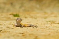 Gecko del leopardo fotografía de archivo