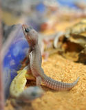 Gecko del leopardo fotografie stock