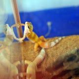 Gecko del leopardo fotografia stock libera da diritti
