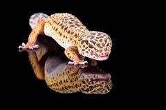 Gecko del leopardo Imagen de archivo libre de regalías