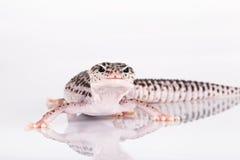 Gecko del leopardo fotografia stock