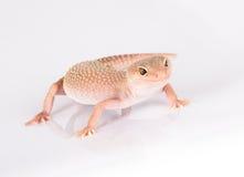 Gecko del leopardo immagini stock