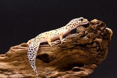 Gecko del leopardo Fotos de archivo